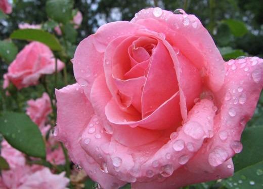 Ramo 12 Rosas Flores Naturales Frescas 1a Calidad Floreria 2 000