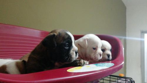 reserva bulldog ingles excelente pedigree kcu