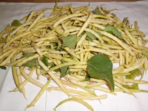 semillas organicas de judias chaucha vaina amarilla