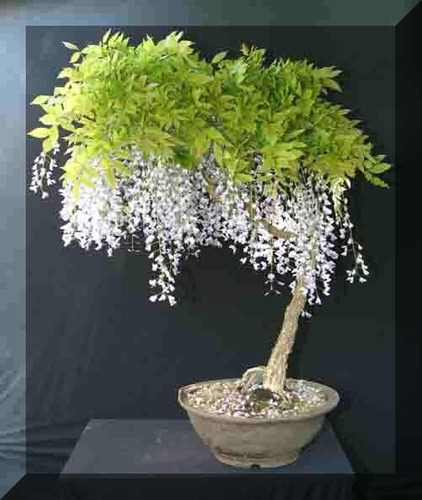 sobre para sembrar 15 arbol bonsai  wisteria flor blanca