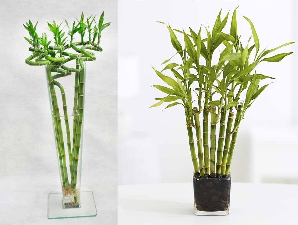 Sobre para sembrar 15 plantas ca as bambu mini decoracion - Bambu para decorar ...