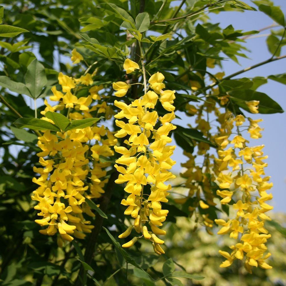 Sobre Para Sembrar 25 Arboles Acacias Amarilla 12500 En Mercado