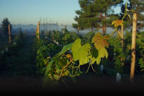 terreno - viñedos de la tahona