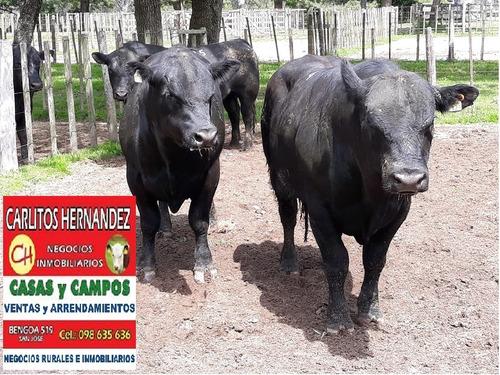 toros angus y vaquillonas p venta prox hereford holando braf