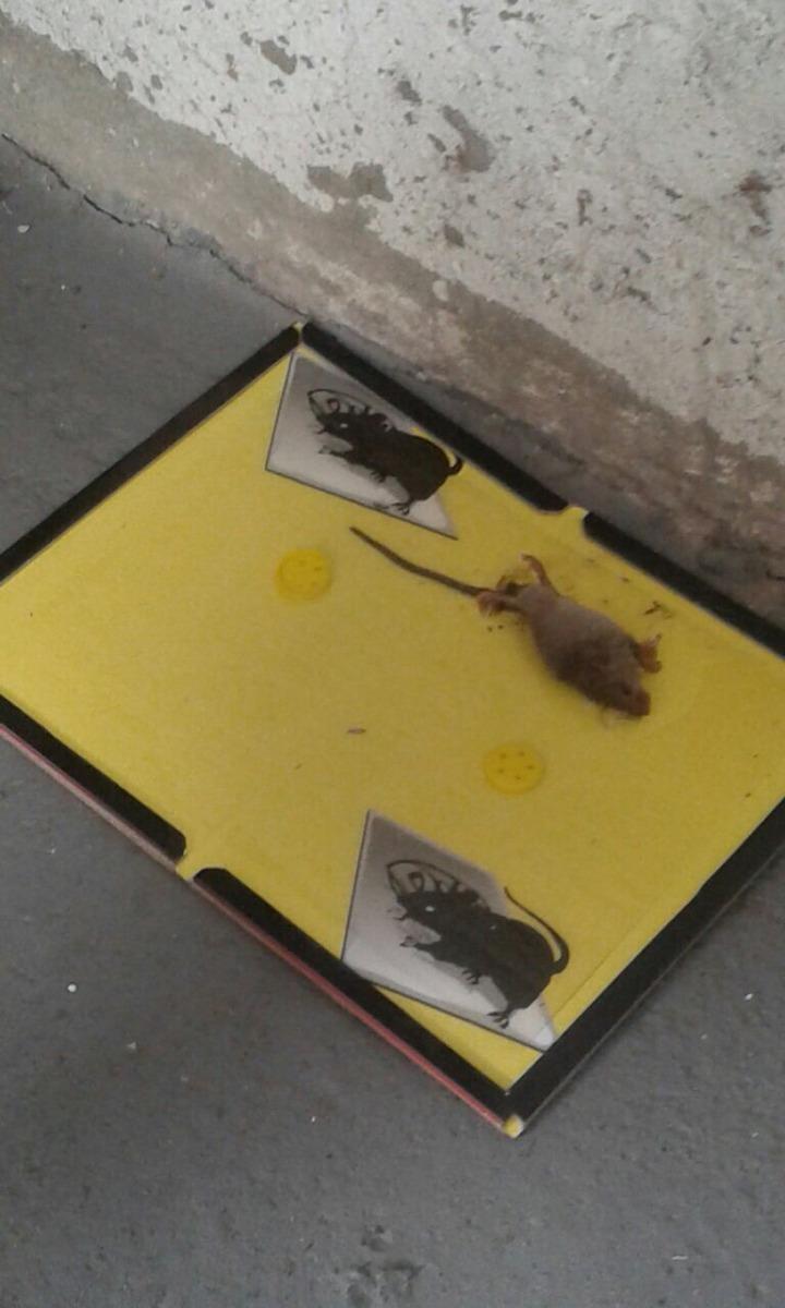 Trampa para ratas y ratones sin veneno 100 00 en mercado libre - Trampas para cazar ratas ...