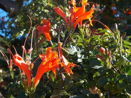 trompeta el cabo, flor san juan- arbusto, trepadora floral