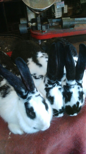 venta de conejos cruza con flandes