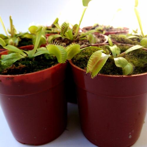 venus atrapamoscas - 18 meses - plantas carnívoras