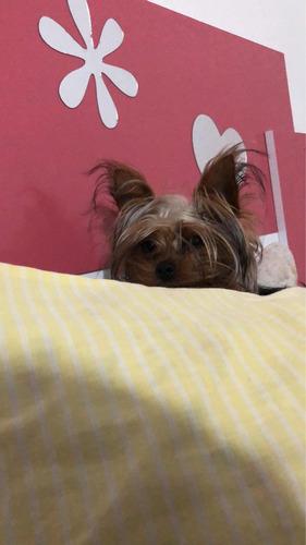yorkshire terrier mini para monta